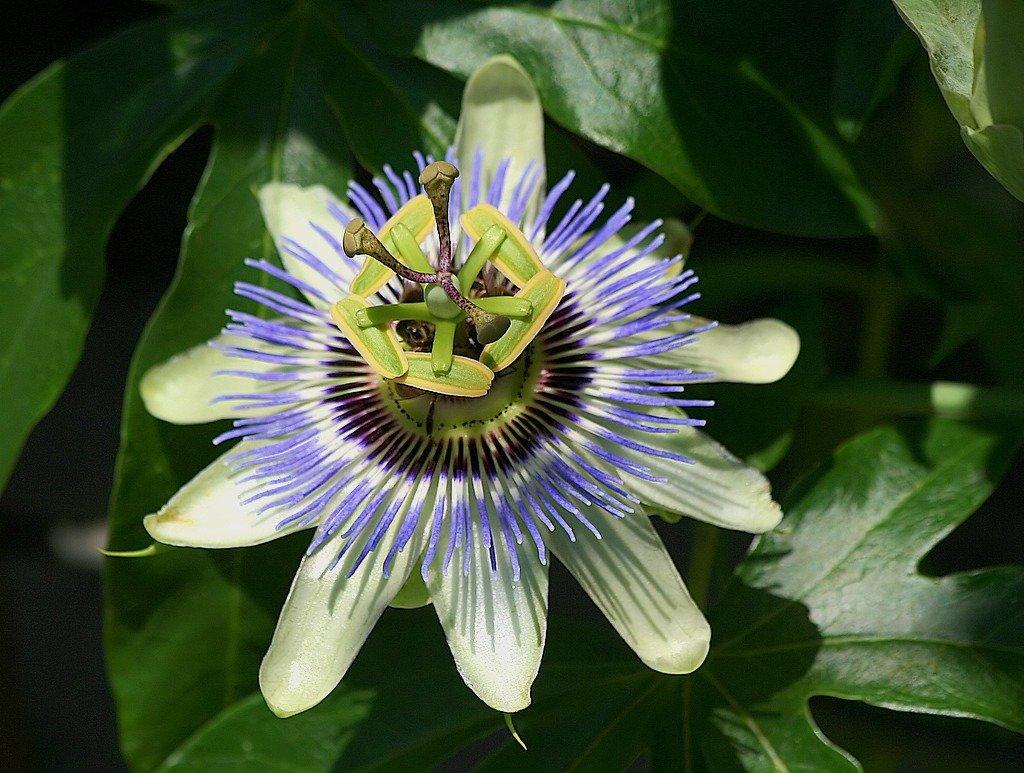 passion flower sleep supplement